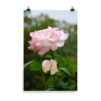 Admiration Pink Rose Floral Nature Photo Loose Unframed Wall Art Prints  - PIPAFINEART