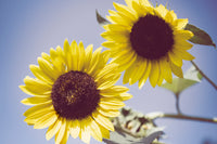 Aged Sunflowers Against Sky Floral / Nature Fine Art Canvas Wall Art Prints  - PIPAFINEART