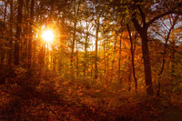 Autumn Sunset in the Trees Landscape Photo Fine Art Canvas & Unframed Wall Art Prints - PIPAFINEART
