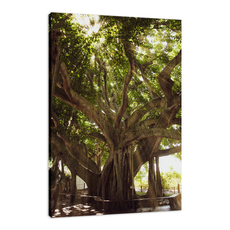 Banyan Tree With Glory Rays of Sunlight Botanical Photo Fine Art Canvas Wall Art Prints