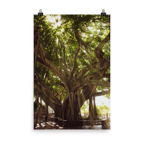 Banyan Tree With Glory Rays of Sunlight Botanical Nature Photo Loose Unframed Wall Art Prints