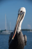 Bob The Pelican 3 Color Wildlife Photograph Fine Art Canvas & Unframed Wall Art Prints  - PIPAFINEART