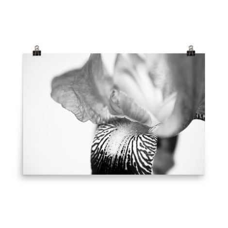 Bold Iris on White Black and White Floral Nature Photo Loose Unframed Wall Art Prints