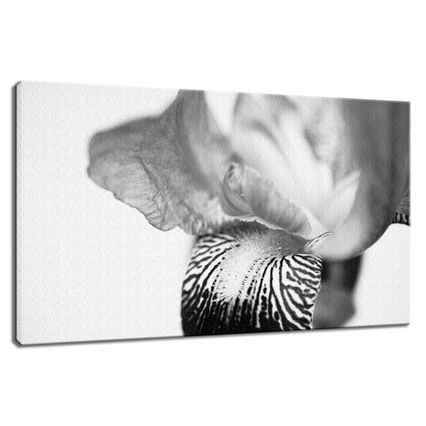 Bold Iris on White Nature / Floral Photo Fine Art Canvas Wall Art Prints