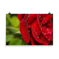 Bold and Beautiful Red Rose Floral Nature Photo Loose Unframed Wall Art Prints  - PIPAFINEART