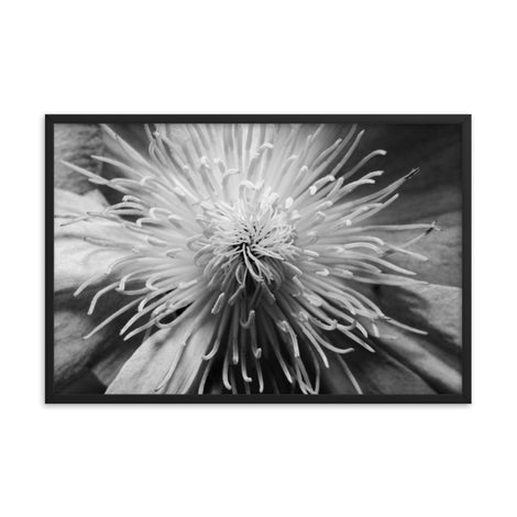 Center of Clematis Black and White Floral Nature Photo Framed Wall Art Print