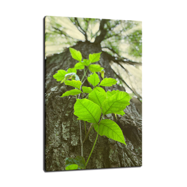 Climbing the Tree Botanical / Nature Photo Fine Art Canvas Wall Art Prints  - PIPAFINEART