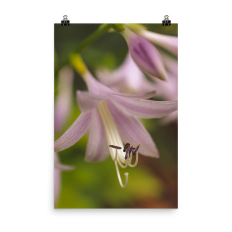 Close-up Hosta Bloom Floral Nature Photo Loose Unframed Wall Art Prints