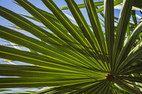 Colorized Wide Palm Leaves Nature / Botanical Photo Fine Art Canvas Wall Art Prints  - PIPAFINEART