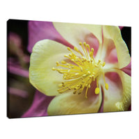 Delicate Columbine Nature / Floral Photo Fine Art Canvas Wall Art Prints  - PIPAFINEART