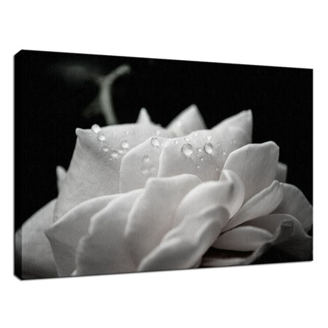 Delicate Rose with Water Droplets - Black and White - Nature / Floral Photo Fine Art Canvas Wall Art Prints