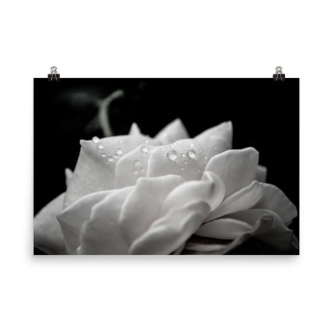 Delicate Rose Black and White Floral Nature Photo Loose Unframed Wall Art Prints