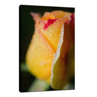 Dew on Yellow Rose Nature / Floral Photo Fine Art Canvas Wall Art Prints  - PIPAFINEART