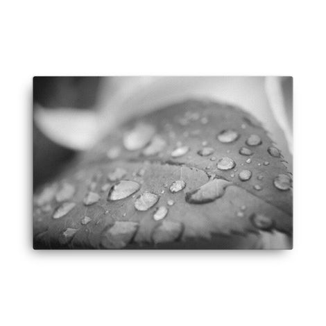 Dew on Leaf of Rose Plant Black and White Floral Nature Canvas Wall Art Prints