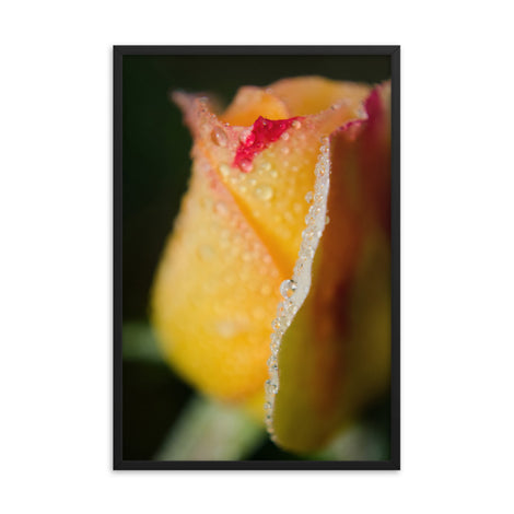 Dew on Yellow Rose Floral Nature Photo Framed Wall Art Print