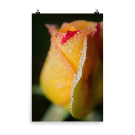 Dew on Yellow Rose Floral Nature Photo Loose Unframed Wall Art Prints