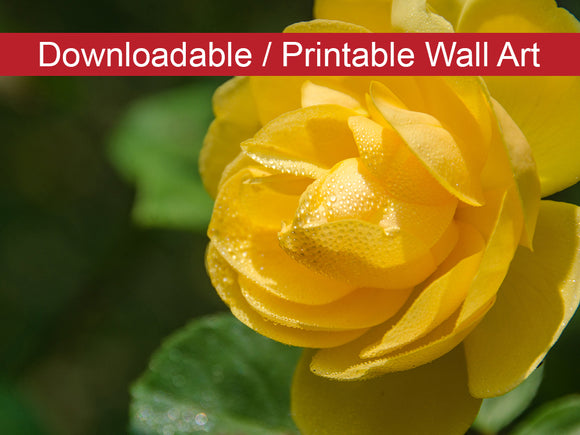 Digital Wall Art, Downloadable Prints, Floral Nature Photograph Friendship Rose - Wall Decor Instant Download Print - Printable
