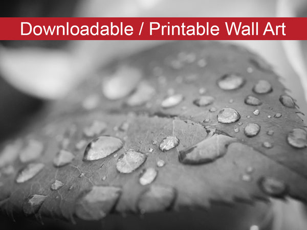 Digital Wall Art, Downloadable Prints, Nature Photography - Dew on Leaf of Rose Plant - Black and White - Wall Decor - Printable
