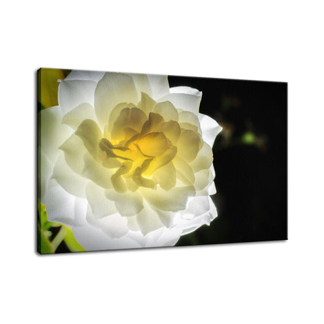 Glowing Rose 2 Nature / Floral Photo Fine Art Canvas Wall Art Prints
