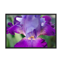 Glowing Iris Floral Nature Photo Framed Wall Art Print  - PIPAFINEART