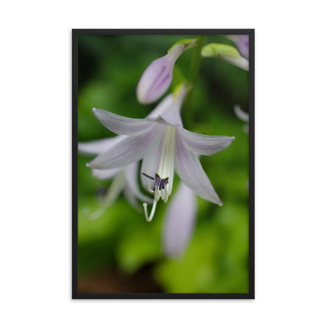Hosta Bloom Floral Nature Photo Framed Wall Art Print