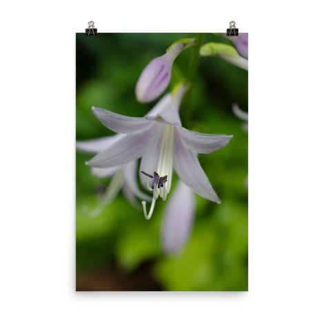 Hosta Bloom Floral Nature Photo Loose Unframed Wall Art Prints
