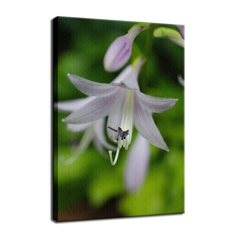 Hosta Bloom Nature / Floral Photo Fine Art Canvas Wall Art Prints