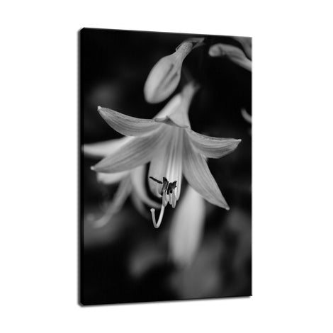 Hosta Bloom in Black & White Nature / Floral Photo Fine Art Canvas Wall Art Prints