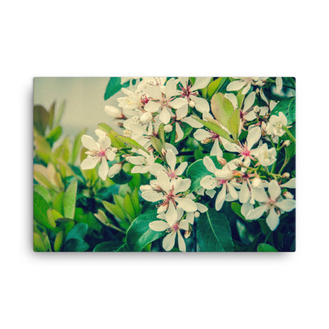 Indian Hawthorn Shrub in Bloom Colorized Floral Nature Canvas Wall Art Prints