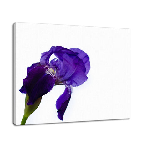 Iris On White Nature / Floral Photo Fine Art Canvas Wall Art Prints