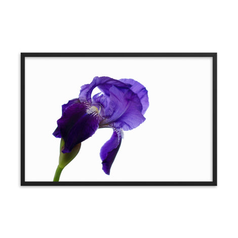 Iris On White Floral Nature Photo Framed Wall Art Print