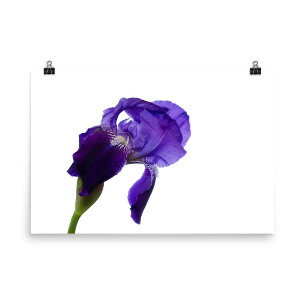 Iris On White Floral Nature Photo Loose Unframed Wall Art Prints  - PIPAFINEART