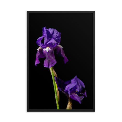 Iris on Black Floral Nature Photo Framed Wall Art Print