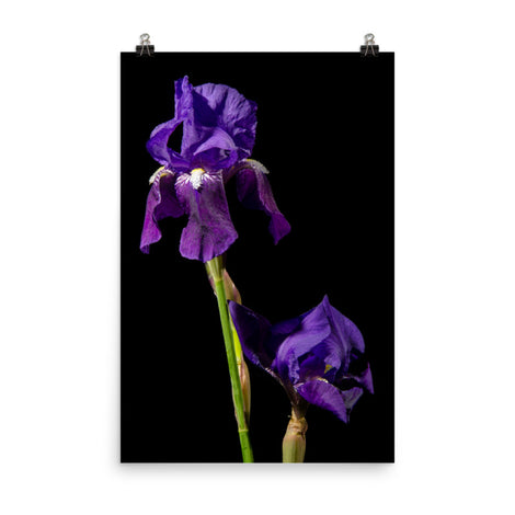Iris on Black Floral Nature Photo Loose Unframed Wall Art Prints