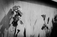 Iris on Wall in Black and White Nature / Floral Photo Fine Art Canvas Wall Art Prints  - PIPAFINEART