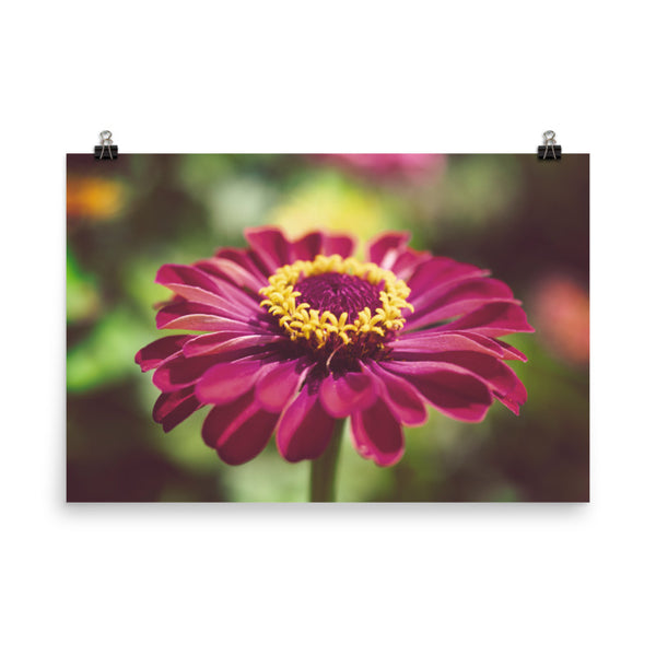 Moody Young-And-Old Age Pink Zinnia Floral Nature Photo Loose Unframed Wall Art Prints  - PIPAFINEART