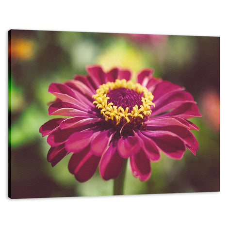 Moody Young-And-Old Age Pink Zinnia Flower Bloom Fine Art Canvas Wall Art Prints