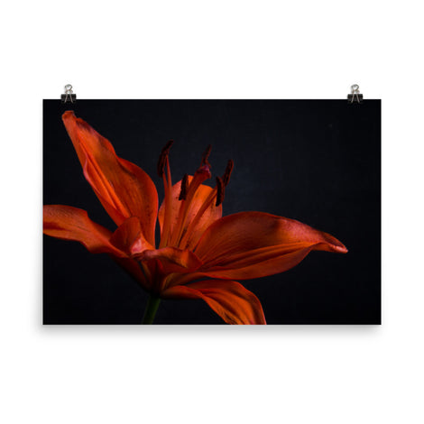 Orange Lily with Backlight Floral Nature Photo Loose Unframed Wall Art Prints