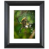 Orb Weaver Animal / Wildlife Photograph Fine Art Canvas & Unframed Wall Art Prints  - PIPAFINEART
