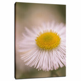 Philadelphia Fleabane Single Bloom Floral Photo Fine Art Canvas Wall Art Prints  - PIPAFINEART