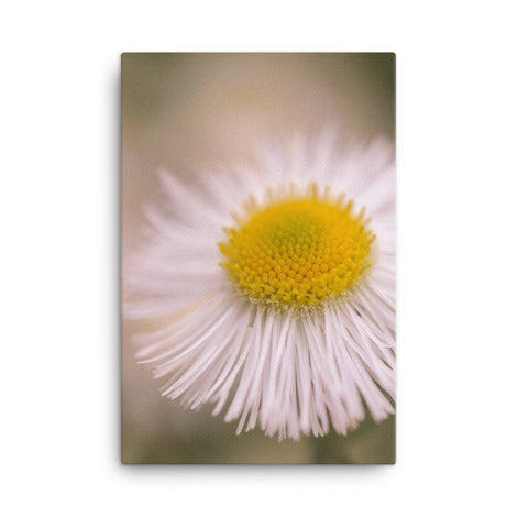 Philadelphia Fleabane Single Bloom Floral Nature Canvas Wall Art Prints