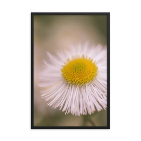 Philadelphia Fleabane Single Bloom Floral Nature Photo Framed Wall Art Print