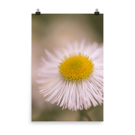 Philadelphia Fleabane Single Bloom Floral Nature Photo Loose Unframed Wall Art Prints