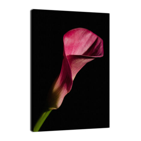 Pink Calla Lily Flower on Black Nature / Floral Photo Fine Art Canvas Wall Art Prints