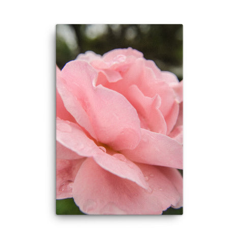 Pink Passion Rose Floral Nature Photo Canvas Wall Art Prints