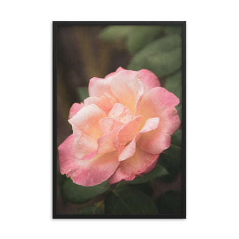 Pink and White Softened Rose Floral Nature Photo Framed Wall Art Print
