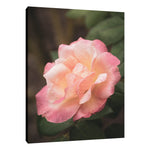 Pink and White Softened Rose Floral Nature Photo Fine Art & Unframed Wall Art Prints - PIPAFINEART