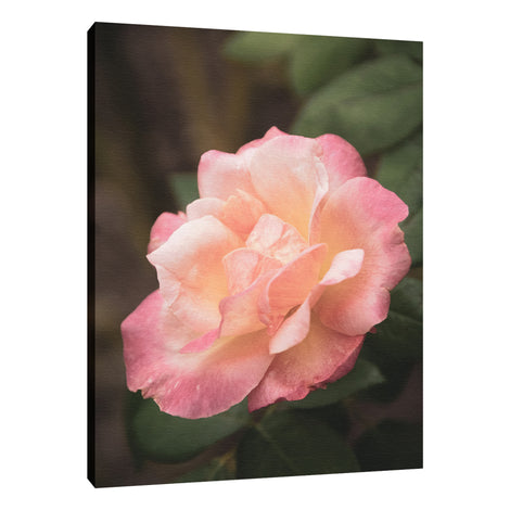 Pink and White Softened Rose Floral Nature Photo Fine Art Canvas Wall Art Prints