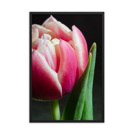Pink and White Tulip Floral Nature Photo Framed Wall Art Print