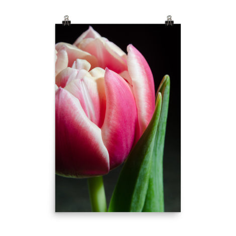 Pink and White Tulip Floral Nature Photo Loose Unframed Wall Art Prints